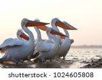 dalmatian pelicans  pelecanus... | Shutterstock . vector #1024605808