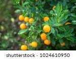 kumquat tree. together with... | Shutterstock . vector #1024610950