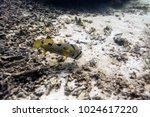 beautiful porcupine big fish... | Shutterstock . vector #1024617220