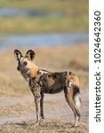 Small photo of A vertical, full length, colour photo of a skinny African wild dog, Lycaon pictus, standing in side light in the Khwai concession, Okavango Delta, Botswana.