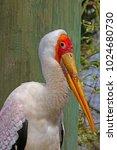 a large yellow billed stork ...   Shutterstock . vector #1024680730