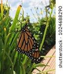 monarch butterfly resting | Shutterstock . vector #1024688290