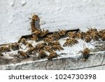 bees flying back in hive after... | Shutterstock . vector #1024730398