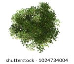 mangrove tree top view on white ... | Shutterstock . vector #1024734004