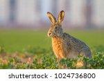 Stock photo  wild european hare lepus europaeus wild brown hare with yellow eyes sitting on the green 1024736800