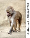 single hamadryas baboon in... | Shutterstock . vector #1024743928