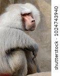 single hamadryas baboon in... | Shutterstock . vector #1024743940