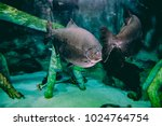 Large Sawfish  Also Known As...