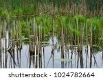old stalks from cattails show...   Shutterstock . vector #1024782664