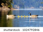 The Canada Goose Is A Large...