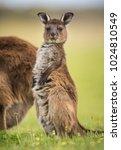 A Joey Western Grey Kangaroos....