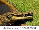 saltwater crocodile  crocodylus ... | Shutterstock . vector #1024836538