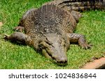 saltwater crocodile  crocodylus ... | Shutterstock . vector #1024836844