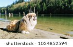 The Pekingese Is An Ancient...