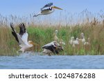 white pelicans  pelecanus... | Shutterstock . vector #1024876288