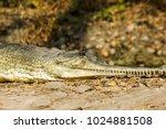 indian fresh water alligator... | Shutterstock . vector #1024881508