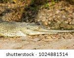 indian fresh water alligator... | Shutterstock . vector #1024881514