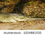 indian fresh water alligator... | Shutterstock . vector #1024881520