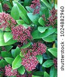Small photo of A Skimmia Japonica Rubella flowering bush with its typical maroon colored flower buds during winter