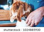 rabbit breeder trimming nails... | Shutterstock . vector #1024885930