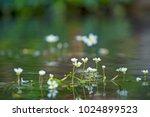Crowfoot Flowers In Calm Stream