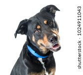 closeup mixed large breed black ... | Shutterstock . vector #1024911043