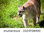 Small photo of The cougar, also commonly known as the mountain lion, panther, or catamount, is a large felid of the subfamily Felinae native to the Americas.