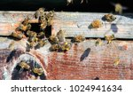 a honey bee is any member of... | Shutterstock . vector #1024941634
