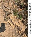 Small photo of harvesting ginger. old ginger field. ginger before post-harvest