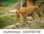 the malayan tiger  panthera... | Shutterstock . vector #1024950748
