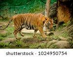 the malayan tiger  panthera... | Shutterstock . vector #1024950754