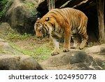 the malayan tiger  panthera... | Shutterstock . vector #1024950778