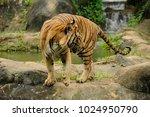 the malayan tiger  panthera... | Shutterstock . vector #1024950790