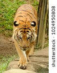 the malayan tiger  panthera... | Shutterstock . vector #1024950808