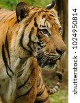 the malayan tiger  panthera... | Shutterstock . vector #1024950814