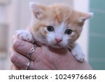 Stock photo orange and white kitten 1024976686