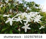 Small photo of White gardenia puchira aquatica flower blooming nature