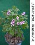 """lemon geranium""  pelargonium... | Shutterstock . vector #1025084659"