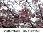 pink flora blooming at khun... | Shutterstock . vector #1025105950