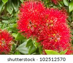 Close Up Crimson Blossoms Of...