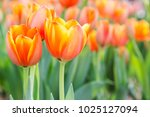 tulip flower with green leaf... | Shutterstock . vector #1025127094