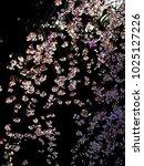 full bloom of cherry blossoms... | Shutterstock . vector #1025127226