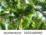 coconut palm trees bottom view  ... | Shutterstock . vector #1025160040