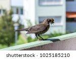 Female Blackbird Builds A Nest...