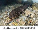 japanese giant salamanders... | Shutterstock . vector #1025208850