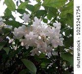 white flowers in memory | Shutterstock . vector #1025241754