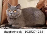 british cat looking around....   Shutterstock . vector #1025274268