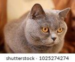 british cat looking around....   Shutterstock . vector #1025274274