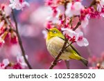 the japanese white eye.the... | Shutterstock . vector #1025285020