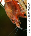 Small photo of Freshwater shrimp Caridina logemanni